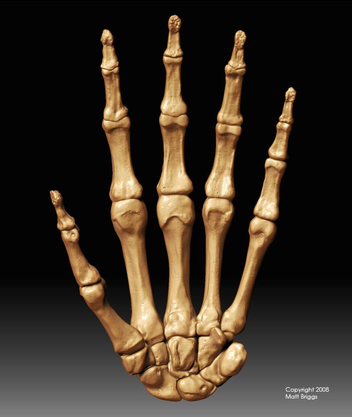 hand bones, Cephalic Vein