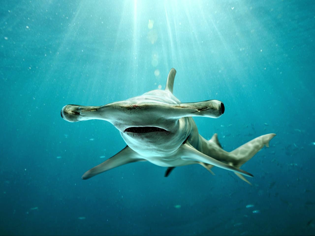 Uncategorized Hammerhead Shark Pictures To Print hammerhead shark sphyrna mokarran