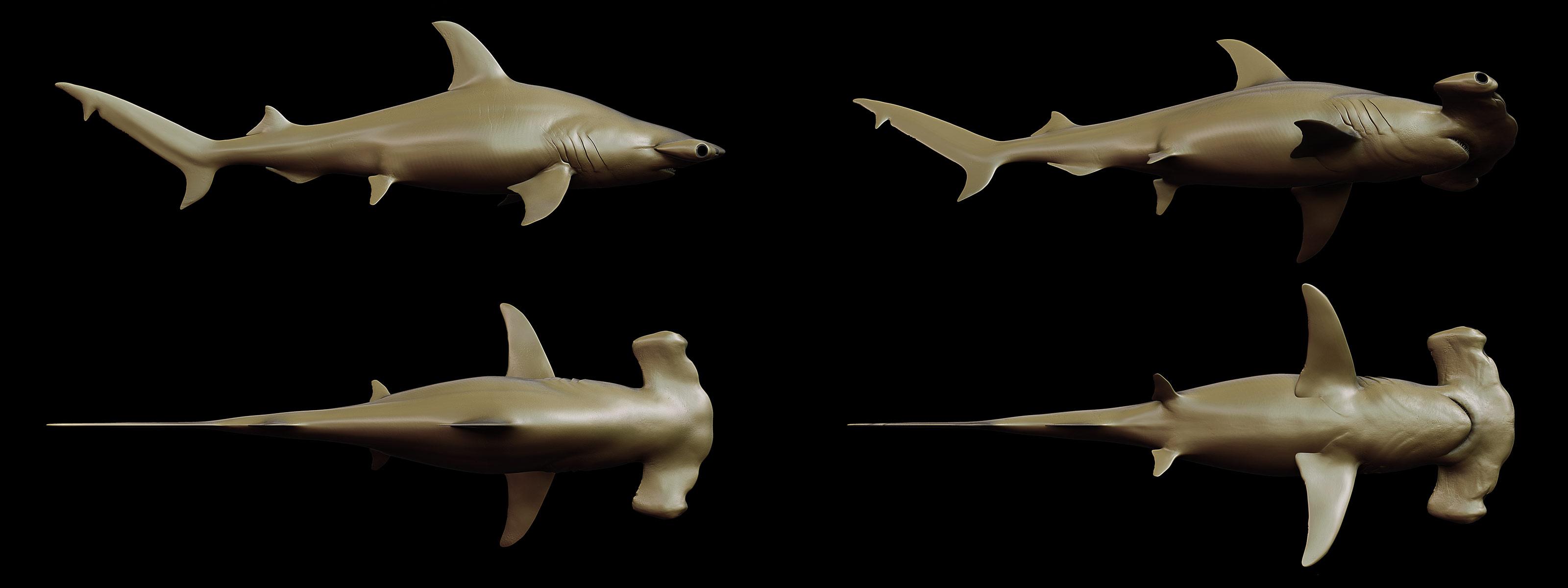 HammerHead Shark - Sphyrna mokarran