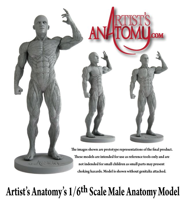 Anatomy Male Figure From Artists Anatomy