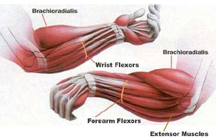 major-forearm-muscles.jpg