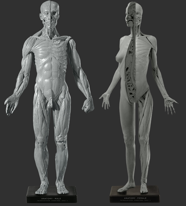 For Sale Male Female Anatomy Figures Sold