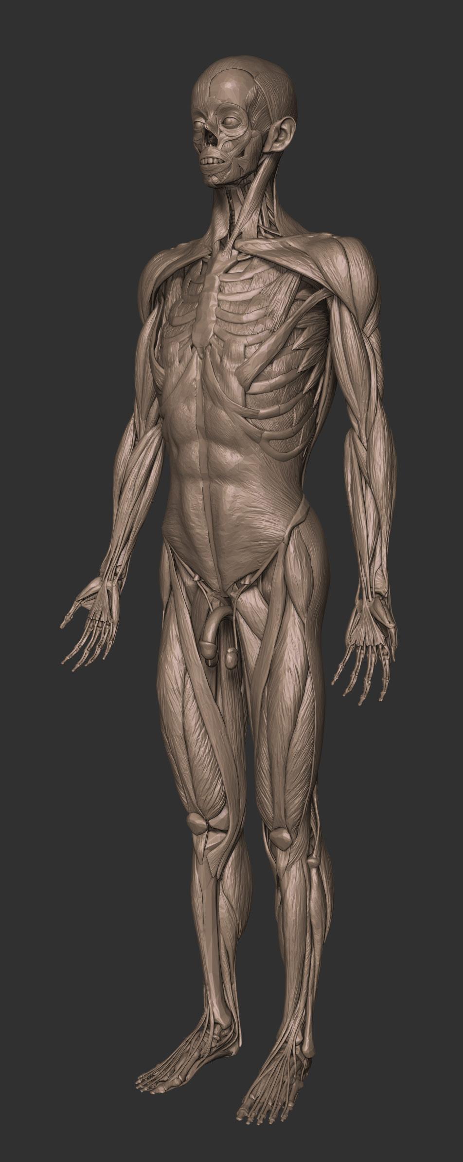 Full anatomy model free download
