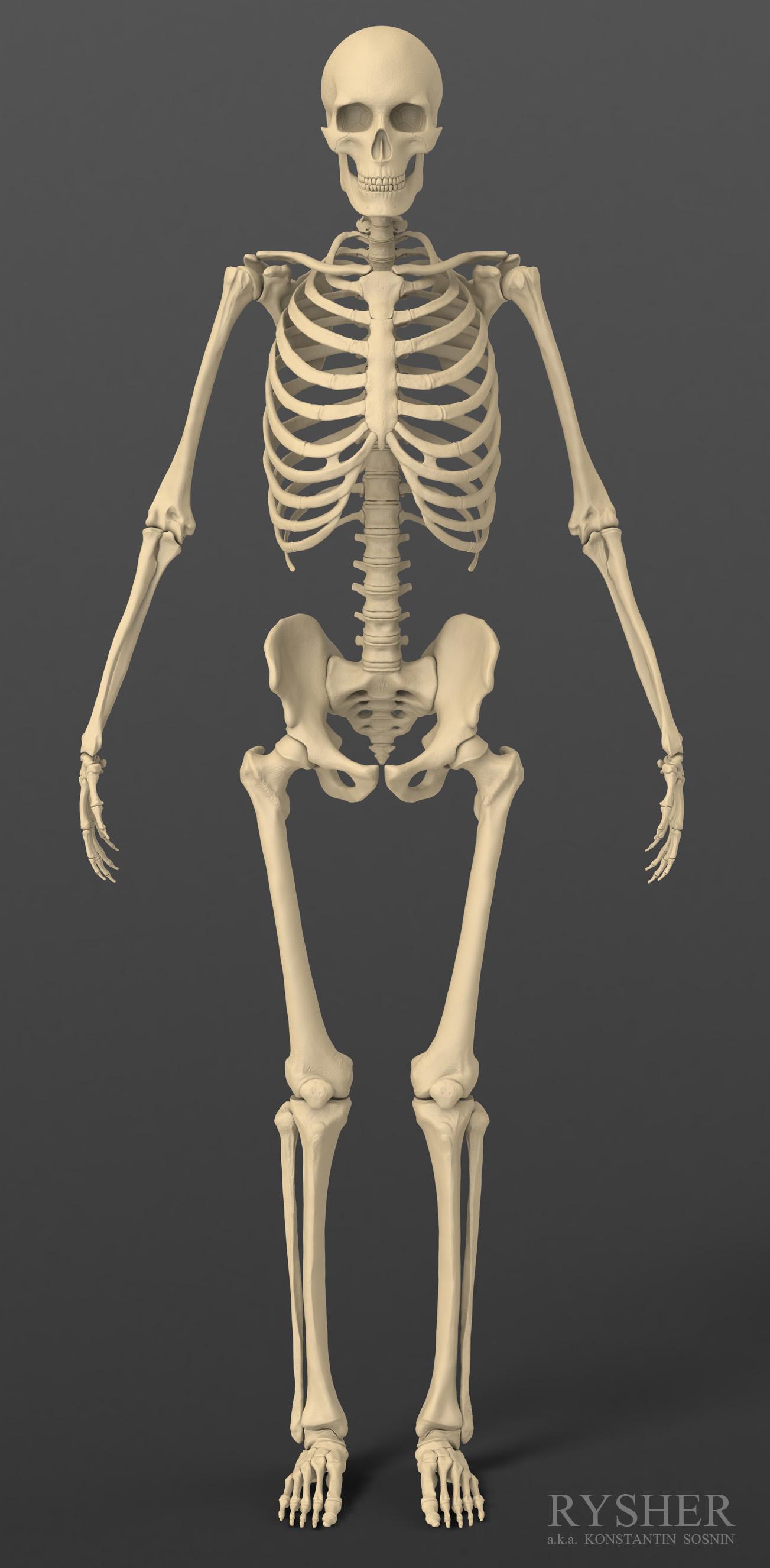 Human Anatomy In Zbrush Updates On The Skeleton