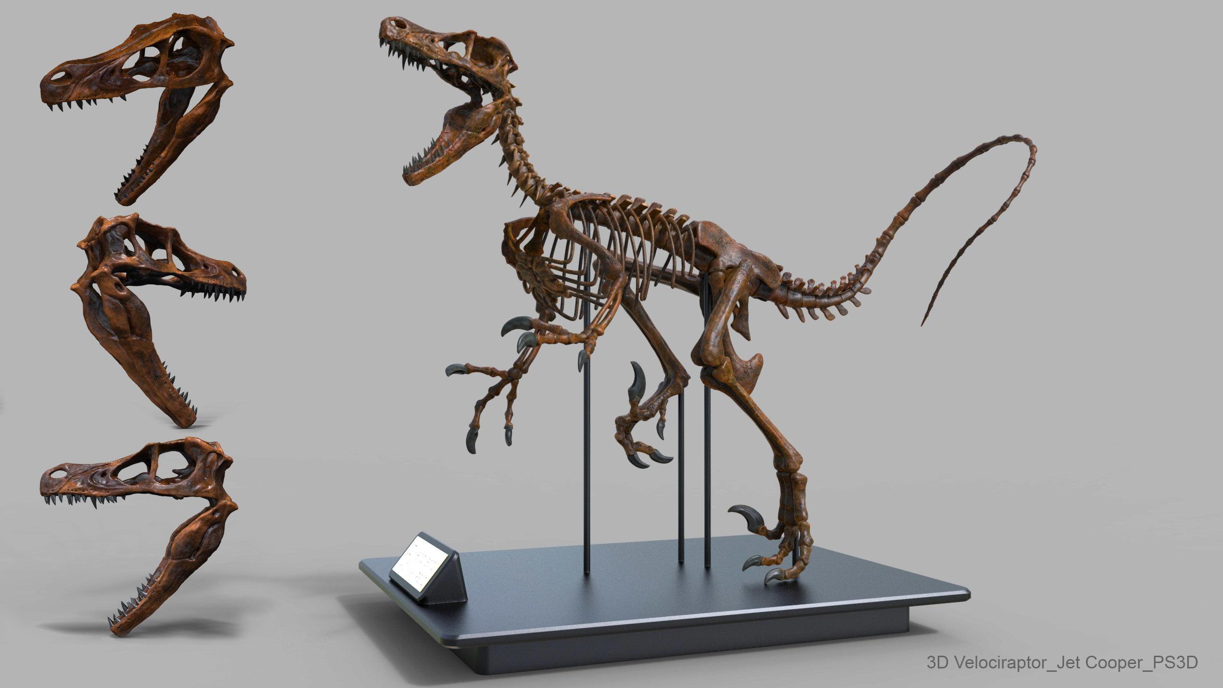 Velociraptor | Paleontology Wiki | Fandom |Velociraptor Skull Front