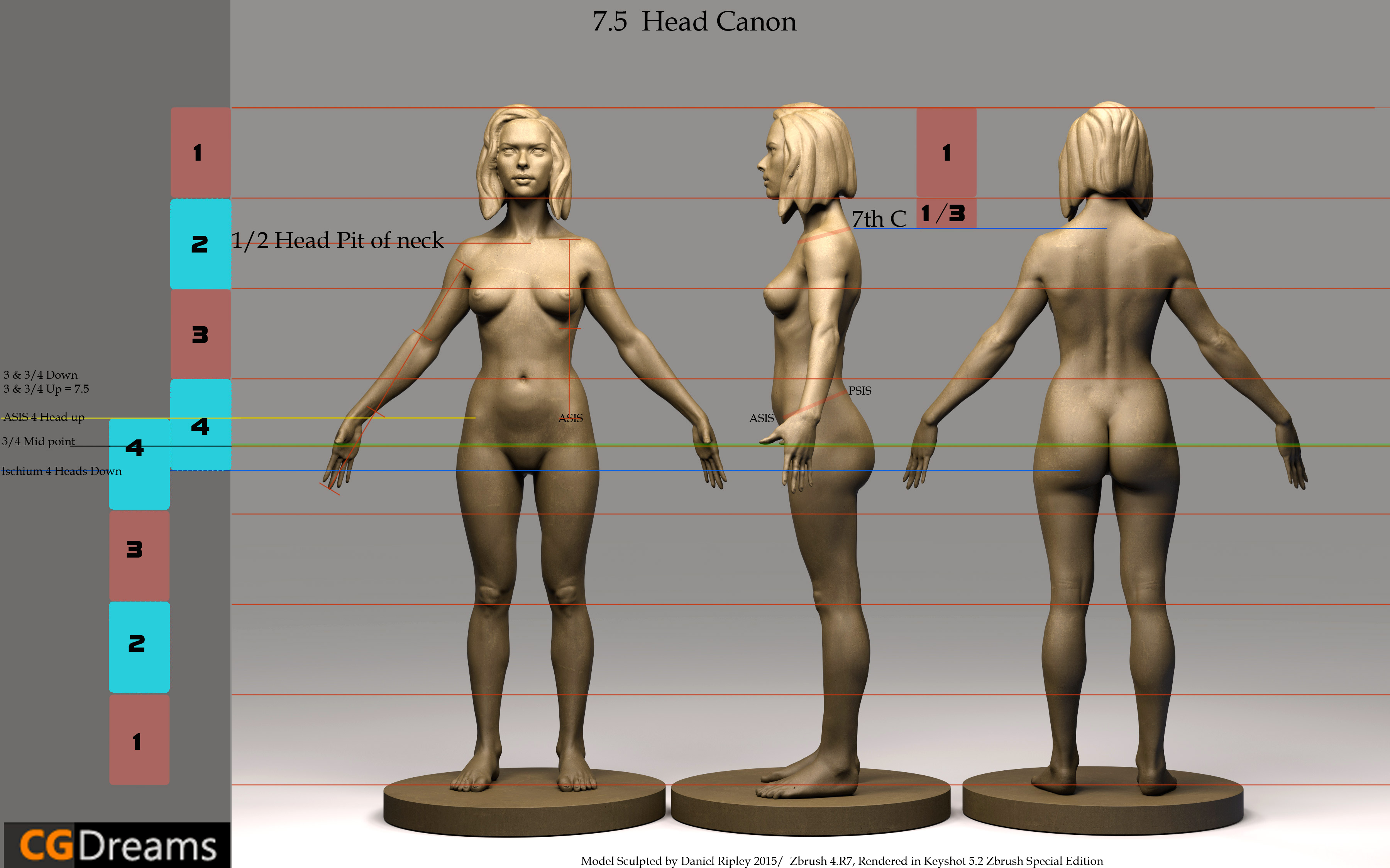 Human Anatomy Proportions Basic Guide