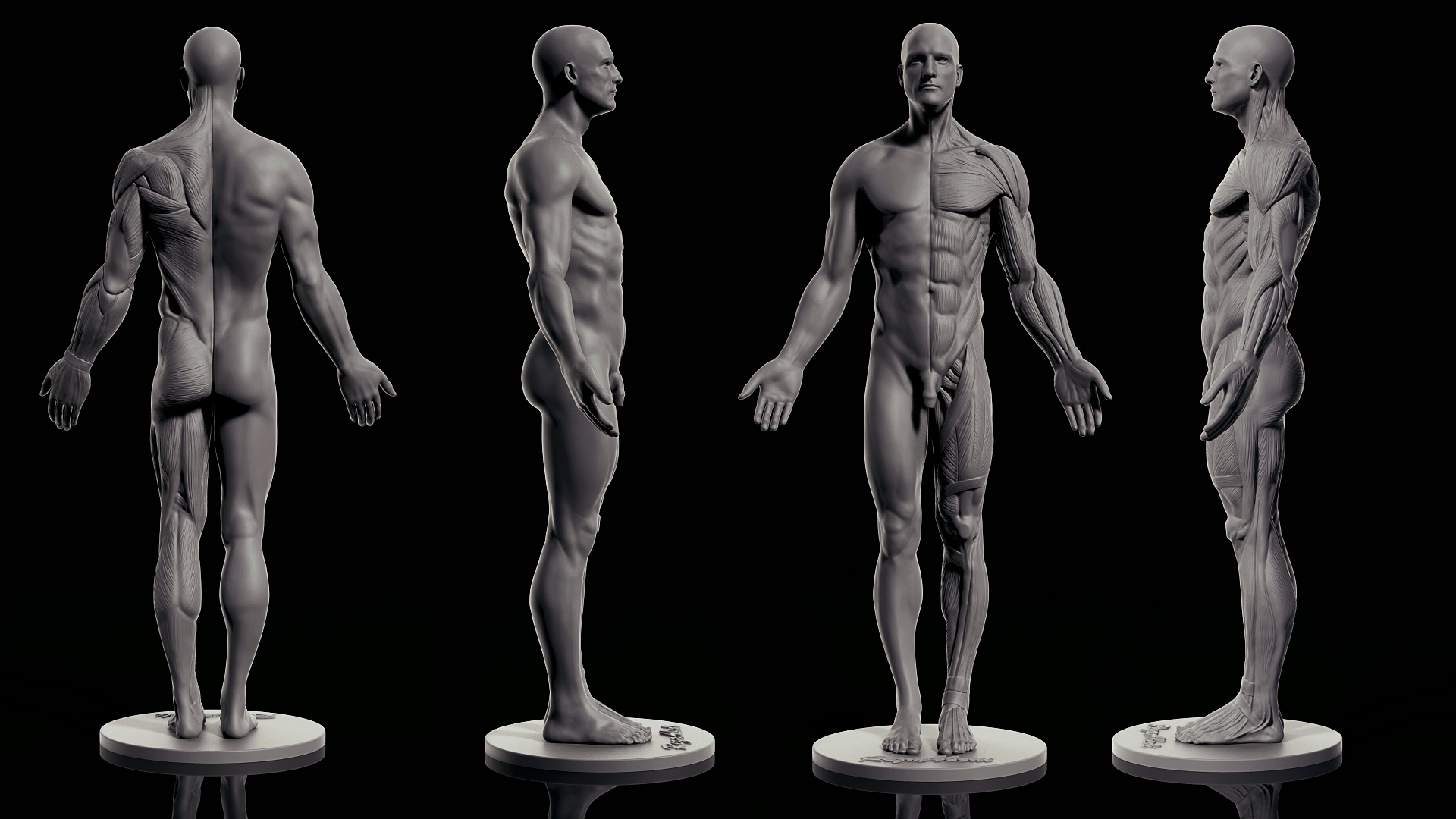 Male Anatomy - FreeDownload
