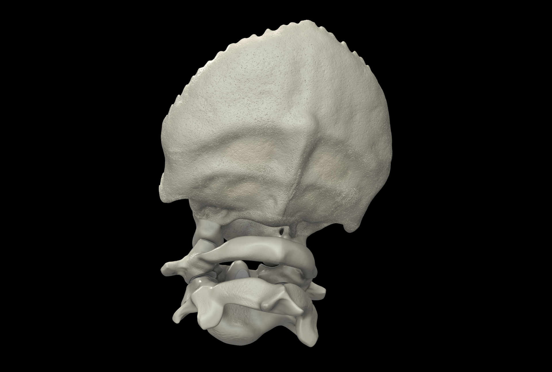Craniovertebral Junction Bones And Articulations Occipital
