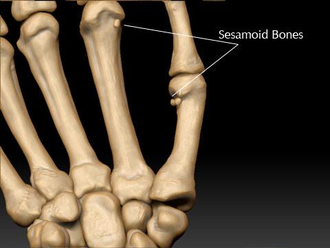 """Bildergebnis für """" sesamoid bone"""" hand"""